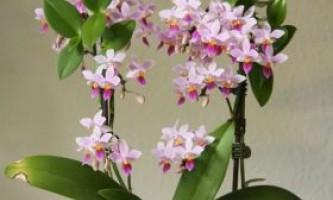 Як вирощувати орхідеї в домашніх умовах