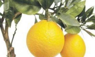 Як виростити апельсинове дерево з кісточки