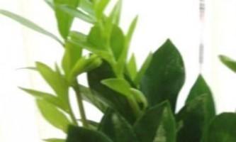 Замиокулькас пересадка після покупки | поради досвідчених садівників